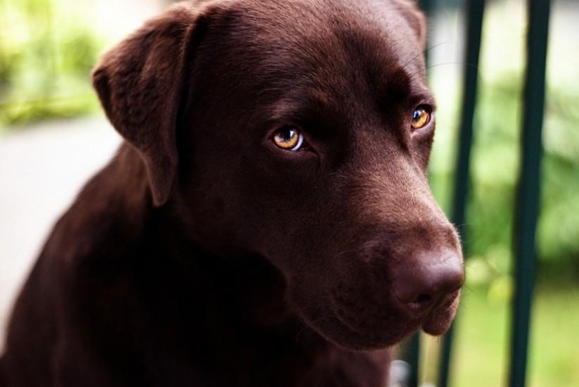 Photo Labrador Chocolat par Michael Méniane